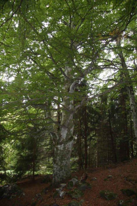 Hattusas SRL - paesaggio ed ecologia - censimento alberi monumentali -- Fagus sylvatica - Zorzone - Bergamo - 2