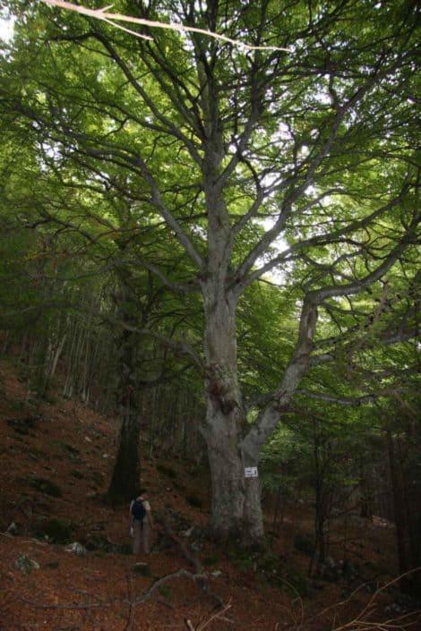 Hattusas SRL - paesaggio ed ecologia - censimento alberi monumentali - Fagus sylvatica - Zorzone - Bergamo