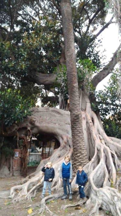 Hattusas SRL - paesaggio ed ecologia - censimento alberi monumentali - Ficus magnoloides - Bordighera