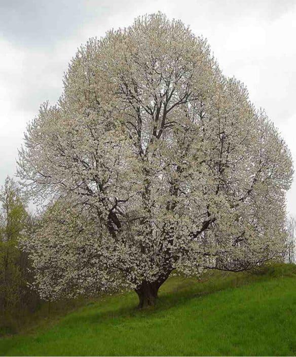 Hattusas SRL - paesaggio ed ecologia - censimento alberi monumentali - Prunus avium