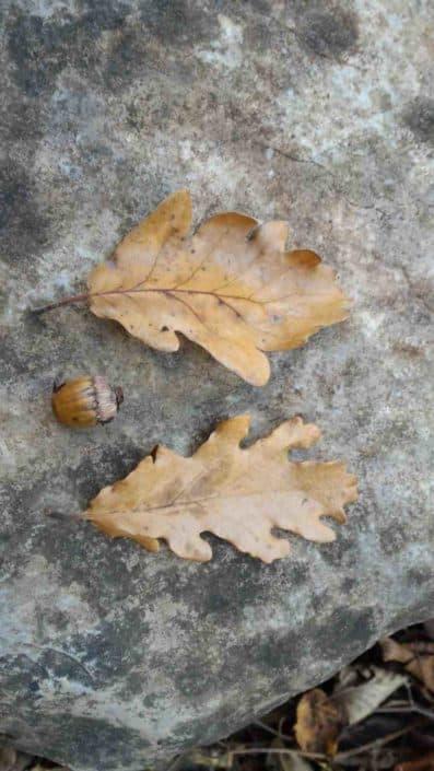 Hattusas SRL - paesaggio ed ecologia - censimento alberi monumentali - Quercus petraea - Tavernola - Bergamo